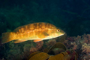 Ballan wrasse (Labrus bergylta) swimming over kelp, Cardigan Bay, Wales, UK, June  -  Graham Eaton