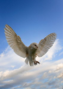 Barn Owl (Tyto alba) swooping to catch prey, captive, Cheshire, UK, January - Graham Eaton