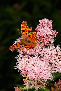 Comma Butterfly (Polygonia c-album) on Common Valerian (Valeriana officinalis) Clwyd, Wales, UK, August - Graham Eaton