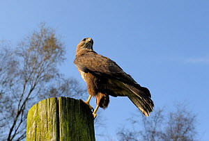 Common buzzard (Buteo buteo) perched on a telegraph pole, UK, October - Graham Eaton