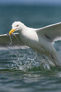 Herring Gull (Larus argentatus) feeding on sandeel, Anglesey, Wales, UK, July - Graham Eaton
