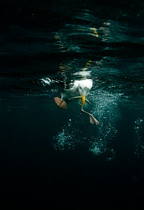 Herring Gull (Larus argentatus) feeding on sandeel, underwater shot, Cardigan Bay, Wales, UK, June - Graham Eaton