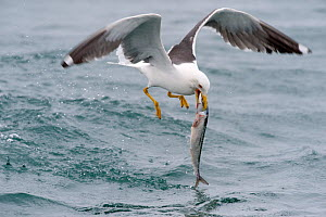 Lesser Black-backed Gull (Larus fuscus) catching a large fish, Cardigan Bay, Wales, UK, May - Graham Eaton