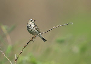Rock Pipit (Anthus petrosus) perched on bramble, Abersoch, Wales, UK, June  -  Graham Eaton