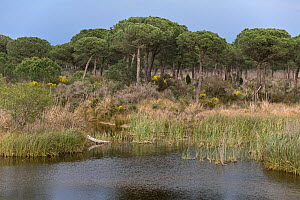 Typical wetland and Stone Pine (Pinus pinea) scrub landscape, Coto Donana National Park, Andalusia, Spain, 2007.  -  Angelo Gandolfi