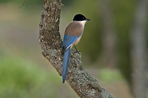 Azure-winged Magpie (Cyanopica cyanus). Coto Donyana National Park, Andalusia, Spain.  -  Angelo Gandolfi