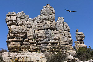 Griffon vulture (Gyps fulvus) flying over rock formation in Torcal de Antequera Natural Park, Andalusia, Spain. - Angelo Gandolfi