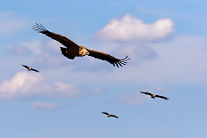 Griffon vultures (Gyps fulvus) in flight, Spain. - Angelo Gandolfi