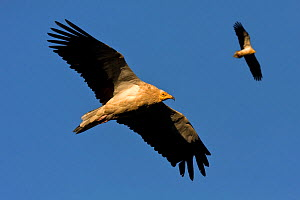 Pair of Egyptian vultures (Neophron percnopterus) hunting, Spain.  -  Angelo Gandolfi