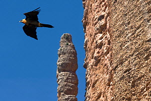 Lammergeier (Gypaetus barbatus) at Los Mallos de Riglos cliffs, Aragon, Spain.  -  Angelo Gandolfi