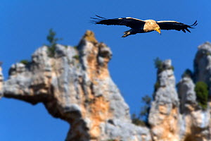 Egyptian vulture (Neophron percnopterus) in flight, with natural rock arch in the background. Canyon del Ebro and Rudron, Castilla y Leon, Spain.  -  Angelo Gandolfi