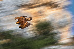 Golden Eagle (Aquila chrysaetos) swooping with folded wings to gain speed. Canyon del Ebro y Rudron, Castilla y Leon, Spain.  Digital composite - Angelo Gandolfi