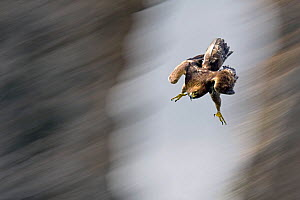 Golden Eagle (Aquila chrysaetos) swooping with folded wings and extended tallons. Canyon del Ebro y Rudron, Castilla y Leon, Spain. Digital composite - Angelo Gandolfi