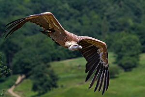 Griffon vulture (Gyps fulvus) in flight, Pyrenees range, Navarra, Spain. - Angelo Gandolfi