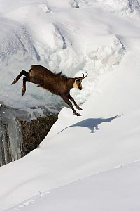 Chamois (Rupicapra rupicapra) jumping over crevasse in the snow, Abruzzo National Park, Italy. - Angelo Gandolfi