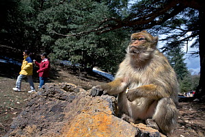 Tourists walking past Barbary ape (Macaca sylvanus). Ifrane Nature Reserve, Middle Atlas Mountains, Morocco. March 2007.  -  Angelo Gandolfi