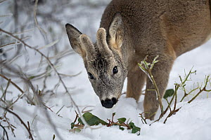 Roe deer (Capreolus capreolus) buck, with growing antlers in velvet, feeding on ivy. Piemonte, Italy. - Angelo Gandolfi