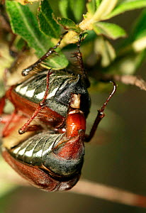 Cockchafer (most likely Melolontha hippocastani) pair mating, Moscow region, Russia, June  -  Konstantin Mikhailov
