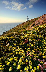 Kidney vetch {Anthyllis vulneraria} flowering on headland with Trevose Lighthouse in the distance, nr Padstow, Cornwall, UK. May 2009.  -  Ross Hoddinott