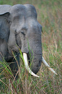 Asiatic / Indian Elephant (Elephas maximus), Kaziranga NP, Assam, India  -  Bernard Castelein
