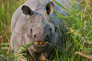 Indian Rhinoceros (Rhinoceros unicornis) grazing, Kaziranga NP, Assam, India - Bernard Castelein