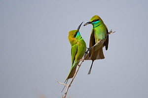 Little green bee-eater (Merops orientalis) pair perched, male giving female a gift of insect prey, Rajasthan, India  -  Bernard Castelein