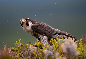 Peregrine falcon (Falco peregrinus) feeding on Wood pigeon with flies buzzing around, Cairngorms, Scotland, UK, captive - Peter Cairns / naturepl.com