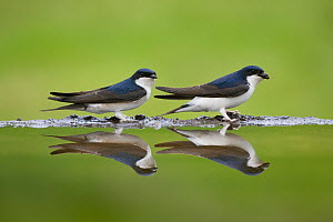 House Martin pair (Delichon urbicum) reflected in garden pond, Cairngorms National Park, Scotland, UK, spring - Peter Cairns / naturepl.com