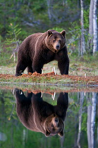 European brown bear (Ursos arctos) reflected in forest pool, Finland - Peter Cairns / naturepl.com