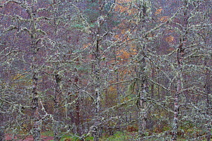 Trees covered in lichen, Glen Affric, Caledonian Forest Reserve, Scotland, November 2007 - Peter Cairns / naturepl.com