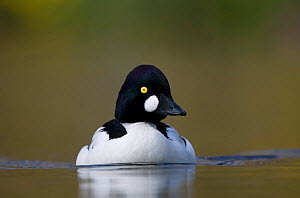 Male Goldeneye (Bucephala clangula) on water, Scotland, February - Peter Cairns / naturepl.com