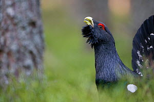 Capercaillie (Tetrao urogallus) male displaying in pine forest, Cairngorms NP, Highland, Scotland, UK, March - Peter Cairns
