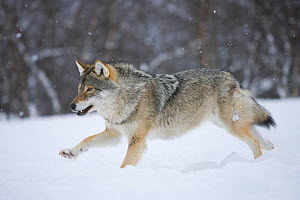 RF- European grey wolf (Canis lupus) running through snow in birch forest, Tromso, Norway. Captive, April. (This image may be licensed either as rights managed or royalty free.)  -  Peter Cairns
