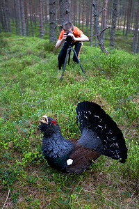 Young boy photographing Capercaillie (Tetrao urogallus) male displaying in pine forest, Scotland, April 2009, model released - Peter Cairns