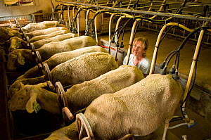 Lacaune sheep being milked for production of Roquefort cheese, Aveyron, France - Jean E. Roche