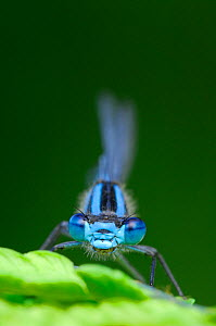 Common Blue Damselfly (Enallagma cyathigerum), Inverness-shire, Scotland, UK, July  -  Laurie Campbell