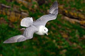 Fulmar (Fulmarus glacialis) in flight, Caithness, Scotland, UK, June - Laurie Campbell