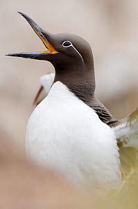 Guillemot (Uria aalge) calling, Farne Islands, Northumberland, England, June - Laurie Campbell