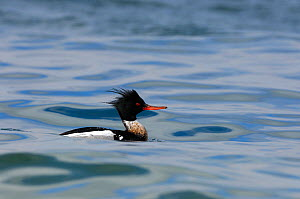 Red-breasted Merganser (Mergus serrator) on water, Island of Islay, Scotland, UK, April  -  Laurie Campbell