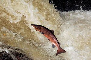 Male Atlantic salmon {Salmo salar} leaping, migrating upstream to spawn, Perthshire, Scotland, UK, October - Laurie Campbell