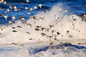 Flock of Sanderling (Calidris alba) flying over a rough sea, Berwickshire Coast, Scotland, UK, March - Laurie Campbell