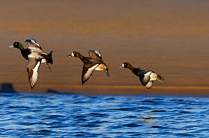 Greater Scaup in flight (Aythya marila) two female and one male in flight over water, Lindisfarne NNR, Northumberland, England, December  -  Laurie Campbell