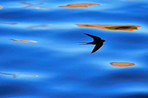 Silhouette of Barn Swallow (Hirundo rustica) flying over water, hawking for insects, Berwickshire, Scotland, UK, July - Laurie Campbell