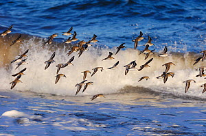 Flock of Knot {Calidris canutus} in flight over waves, North Northumberland, England, February  -  Laurie Campbell