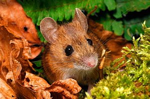 Wood Mouse (Apodemus sylvaticus) captive, Scotland, UK, October  -  Laurie Campbell