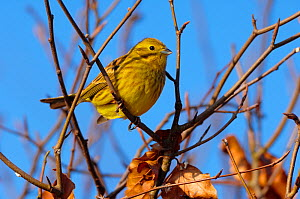 Male Yellowhammer (Emberiza citrinella) perched in Beech hedge, Berwickshire, Scotland, UK, January - Laurie Campbell