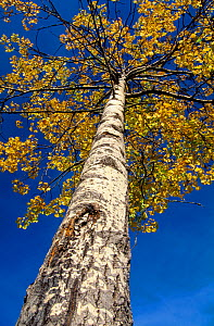Looking up the trunk of an Aspen tree (Populus tremula) in autumn, Speyside, Scotland, UK, October - Laurie Campbell