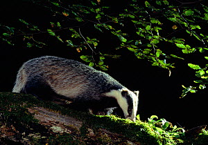 Badger (Meles meles) adult investigating log under beech tree, Berwickshire, Scotland, UK, July  -  Laurie Campbell