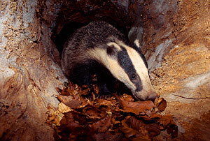 Badger (Meles meles) cub inside hollow log, Berwickshire, Scotland, UK, June  -  Laurie Campbell