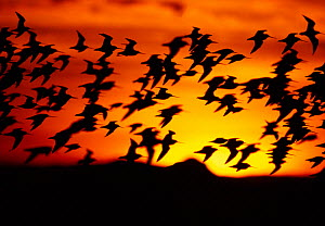 Bar-tailed godwits (Limosa lapponica) silhouette of flock in flight, sunset, Firth of Forth, Scotland, UK, November  -  Laurie Campbell